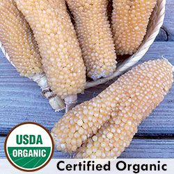bear paw corn heirloom varietyzea mays plants tall attractive purple coloring on husks and stems pearly off white kernels ears are often flattened and