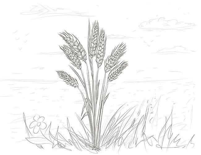 Открытка, картинки с пшеницей карандашом
