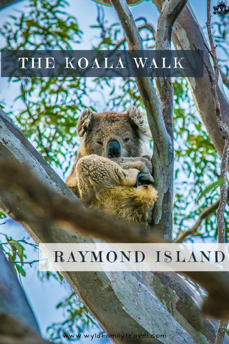 The koala walk is located on Raymond Island in East Gippsland Australia. 3 hours east of Melbourne  ----------------------------------------------------| Gippsland Lakes | Raymond Island Ferry | Where can I see koalas | Where do koalas live |Facts about koalas | Koala Bears | Paynesville |