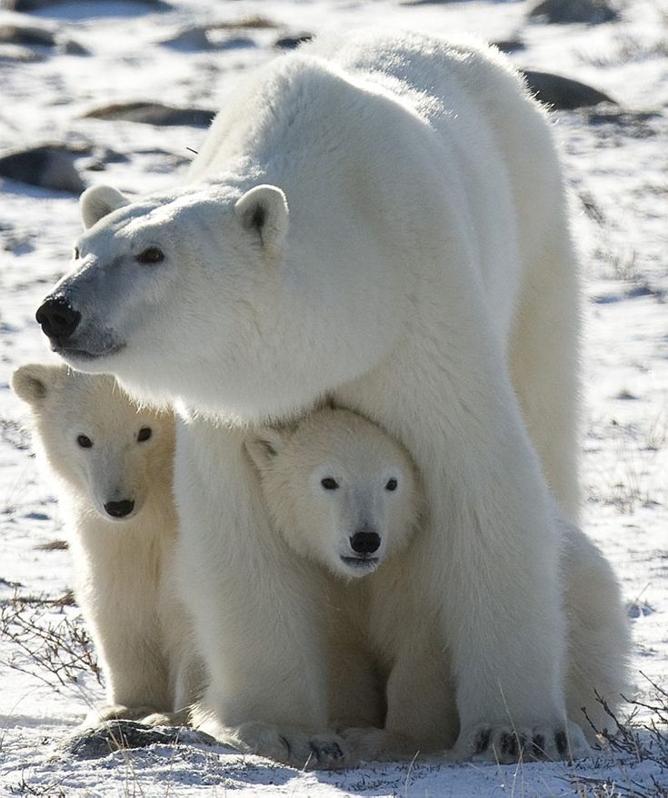 polar bear with cubs | Female polar bear with cubs. Source: adressa.no ]