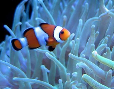 10 best commensalism images on pinterest ap biology art for Clown fish facts