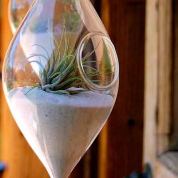 Air plant terrariums for easy, instant green    These hip teardrop terrariums are planted with tillandsia by Los Angeles landscape architect Michelle Madonna.