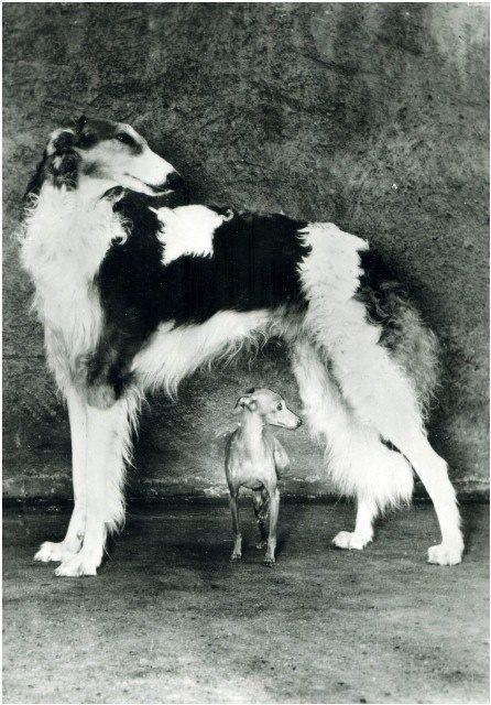 Vintage photo of borzoi and italian greyhound