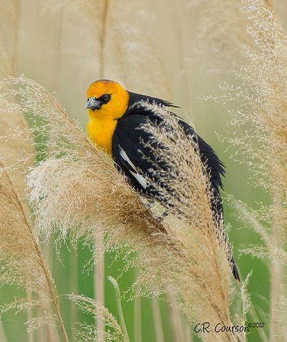 26 best Yellowheaded Blackbird bird, Yellow-headed ...