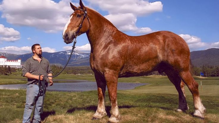 Top 10 Biggest Horse Breeds In The World Unusual Animals