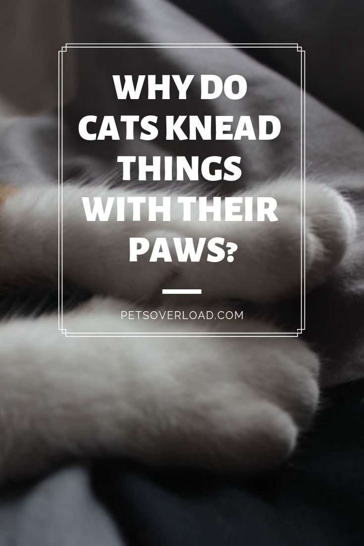 Why Do Cats Knead Things With Their Paws Or Make Muffins Cats Pet Care Pet Health