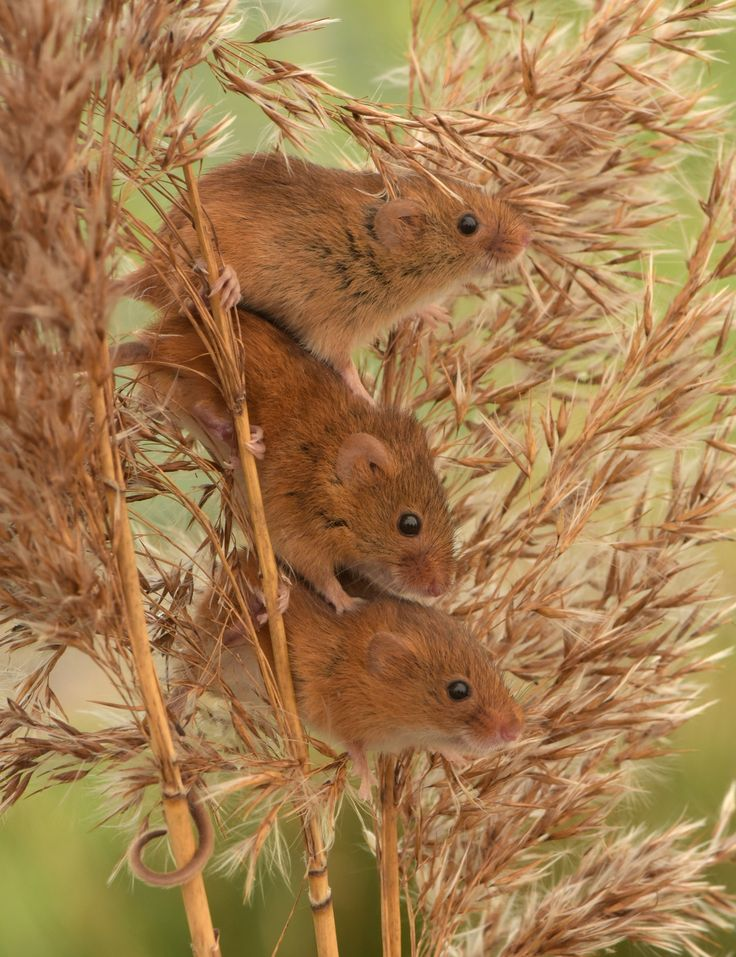 Small Animal Reptiles And Amphibian Habitats: 25+ Best Ideas About Mice On Pinterest