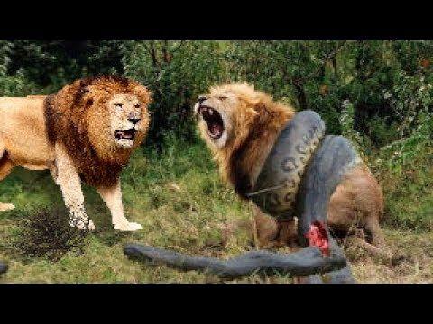 Craziest Animal Attacks Lion Tiger Leopard Jaguar Gorilla ...