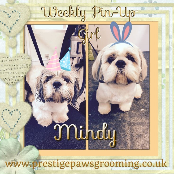 ✂️Everybody we have #prestigepawsgrooming #pooch 'Mindy'. She's 10 years old and is this week's @prestigepawsgrooming weekly #pinupgirl! A Friday treat for you all! #shihtzu #dogstagram #doggrooming #prestigepooch #manchesterdog #poshpooch #makeyourpooch #thetalkofthetown ✂️