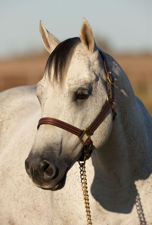 Real Gun 1997 Gray Stallion by Playgun out of Miss War ...