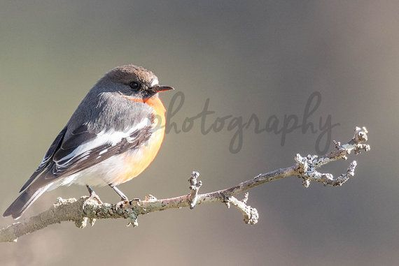 *******DIGITAL INSTANT DOWNLOAD*******  This is an original photograph of a Male Flame Robin, taken by EVM Photography.  This file is