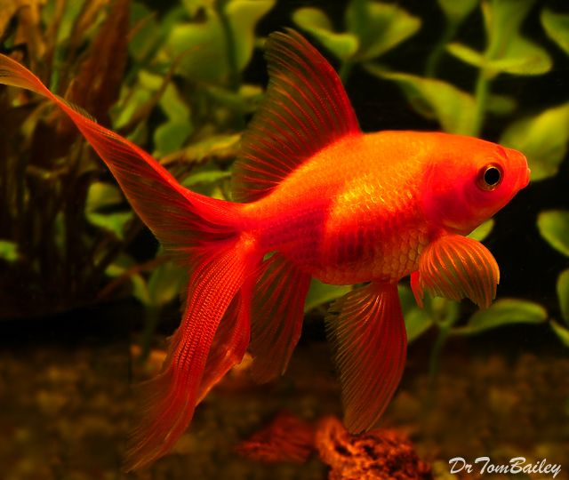 11 best images about goldfish on pinterest oranda for Koi goldfish for sale