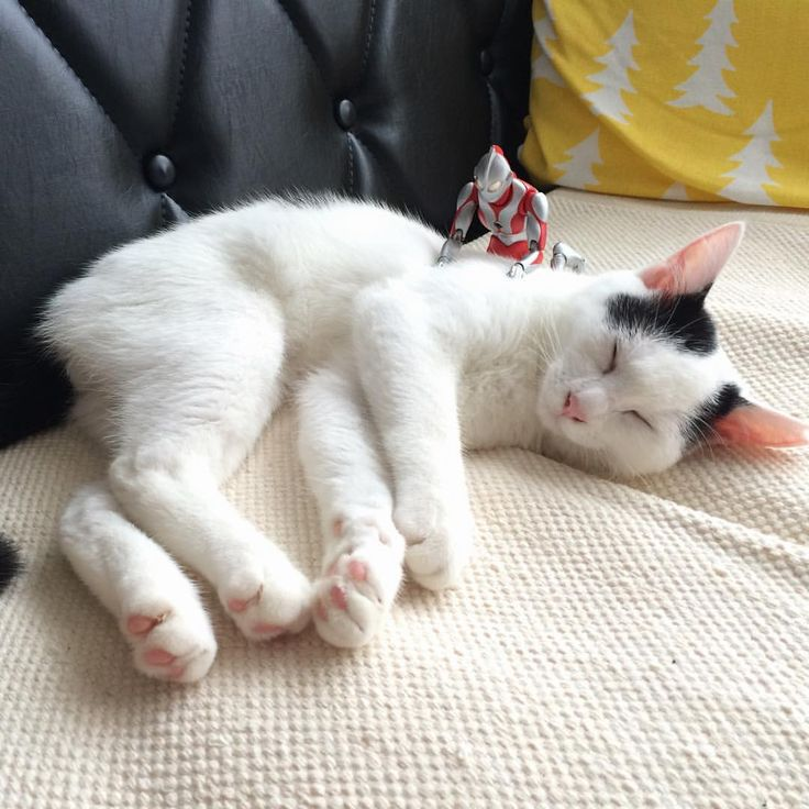 背後霊ではなく、保護猫シェルターさんからお迎えした猫ちゃんです。実は先月から我が家に居りました。 ・ 額に大きく「八」と書いてあるので名前は「ハチ」になりました。 ・ よろしくね ・ #猫 #白黒猫 #cat