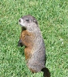 Got Groundhogs in Your Garden? Here Are Some Tips To Help - Frankie Flowers