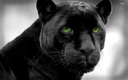 black panther - feline, panther, cat, black