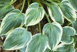 Hosta Plants A Variety of Colors for Your Landscaping