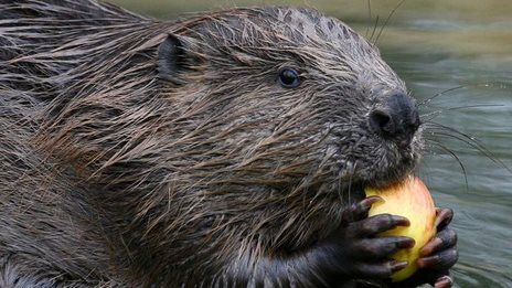 EPISODE 1.  Who, What, Why: Do beavers prevent flooding?  BBC News.