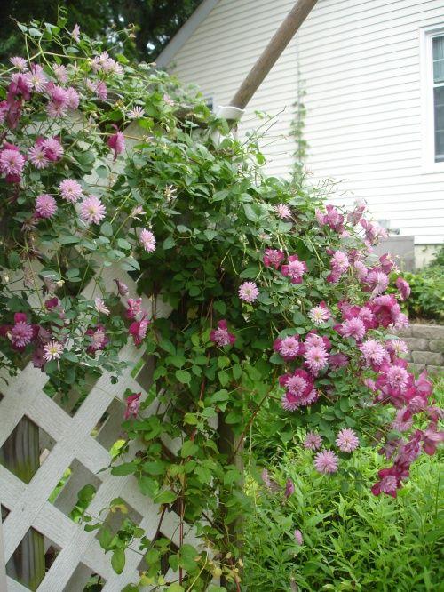Clematis 'Avant Garde': Perennials, Clematis Avant, Dream Lists, Green Ish Thumb, Plants Lists, Guys Dump, Spring 2011, Gardens Plants, Dump Stains