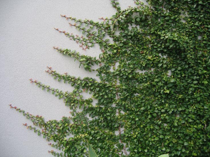 FICUS PUMILA MINIMA small leaf ficus