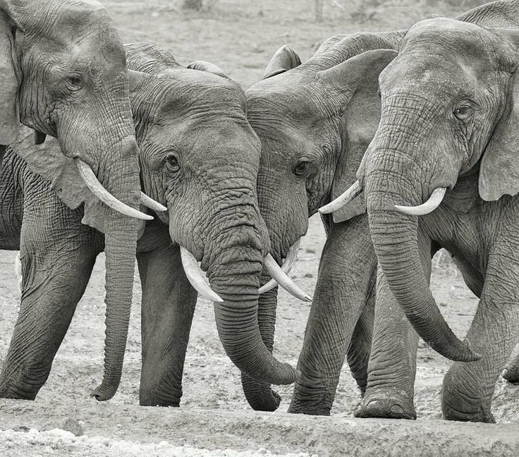 I love them. .!! From : @kathleen.vanoppen - Big boys For info about promoting your elephant art or crafts send me a direct message @elephant.gifts or emailelephantgifts@outlook.com . Follow @elephant.gifts for inspiring elephant images and videos every day! . . #elephant #elephants #elephantlove