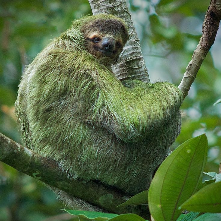 Sloth symbiosis can bioinspire energy efficiency and human industrial ecosystem design. Biomimicry is another great idea, like a baby sloth in a bucket!