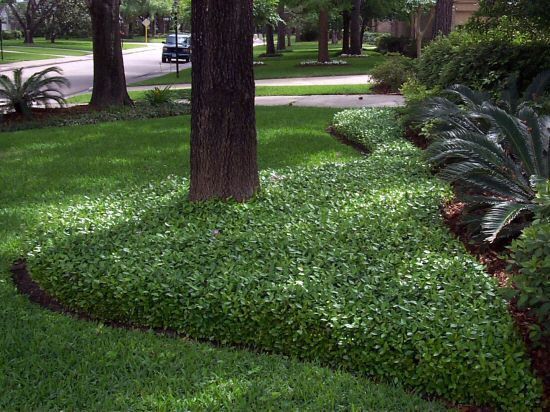19 Best Images About Jasmine Ground Cover On Pinterest