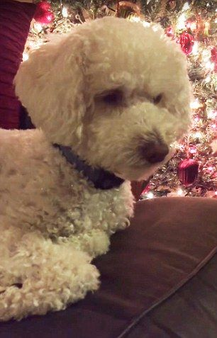 UNITED STATES 🇺🇸 Adorable video shows drowsy dog being sung to sleep in front of a Christmas tree | Daily Mail Online