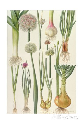 Onions and Other Vegetables Giclee Print by Elizabeth Rice at AllPosters.com