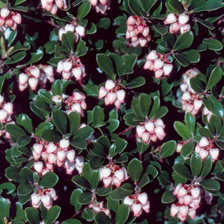 Massachusetts Arctostaphylos uva-ursi Bearberry Plant Tiny, glossy green leaves densely cover even the poorest soils. Zone 6