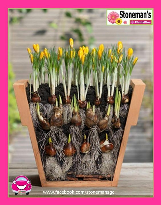 Autumn is the perfect time to plant spring bulbs. Whether you're lining your garden bed or want pots of gorgeous spring colour on your balcony, you can stack bulbs to create ongoing colour which will delight you with more blooms in spring. When you're stacking your bulbs remember to put the largest blubs on the bottom, graduating up with the smallest bulbs on top. Choose a sunny section of your garden, or a well draining container when planting your bulbs. A general rule is to plant each…
