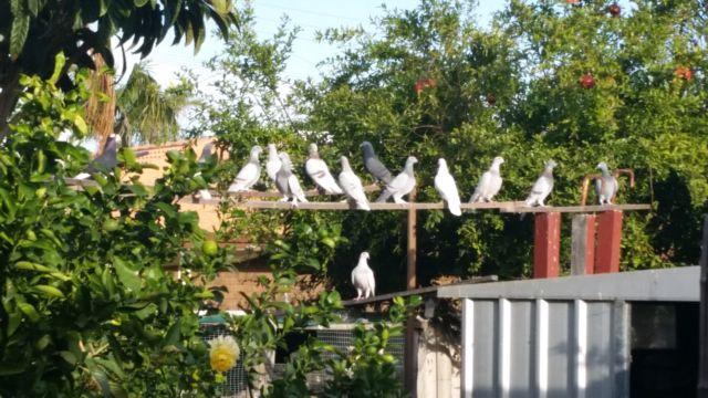 Pigeons sale | Birds | Gumtree Australia Swan Area - Beechboro | 1148217847