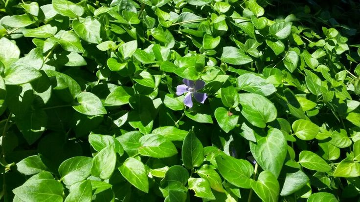 Dense ground cover with purple flower