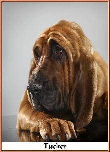 17 Best images about Bloodhounds on Pinterest | Bloodhound ...