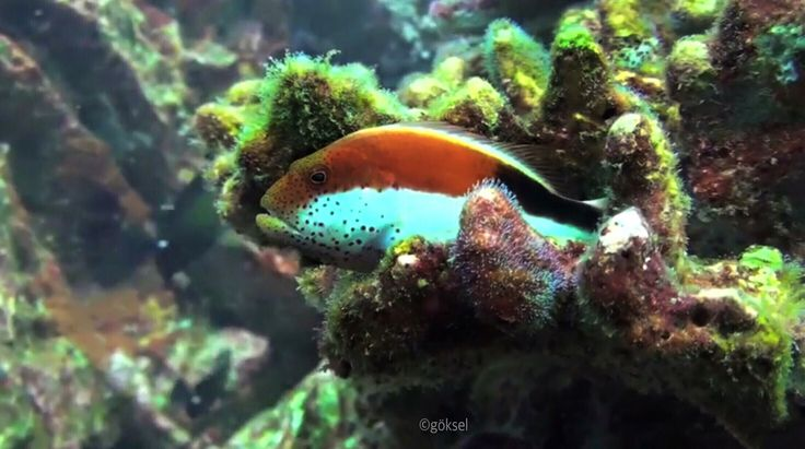 The black-sided hawkfish or freckled hawkfish, Paracirrhites forster ( Adult red coloration) in the Andaman sea of Thailand!