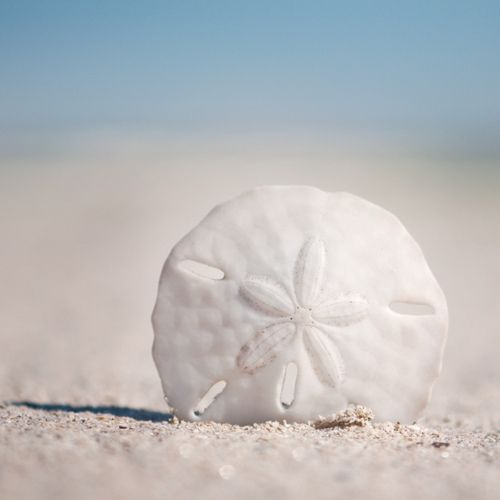 Sand dollar - I love these things. When you break them open there are little tiny doves inside. Beautiful.