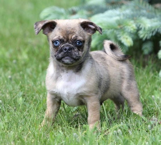pug and chihuahua best 25 merle chihuahua ideas on pinterest blue merle 7890
