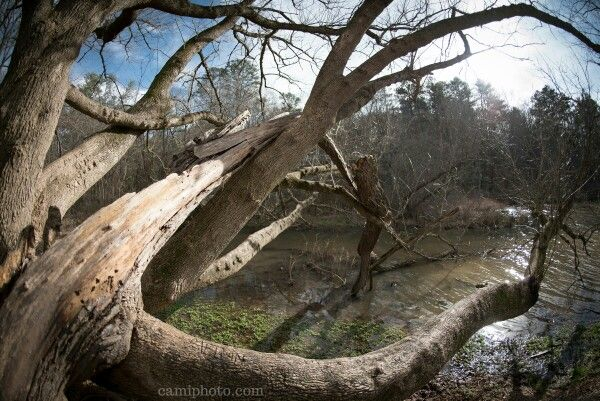 The long branches of an oak tree reach out over the water at the Beaver Lake Bird Sanctuary in Asheville, North Carolina.