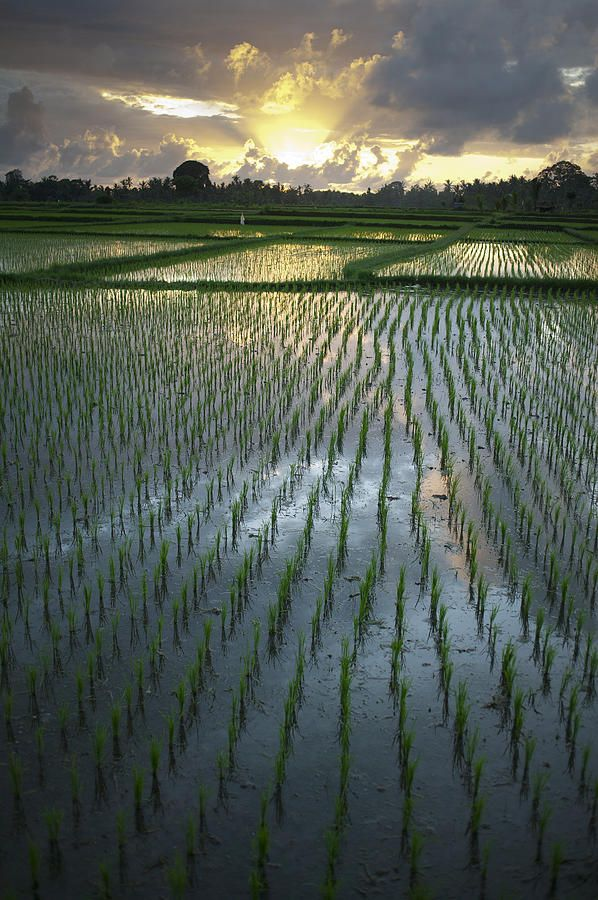 ✮ Rice fields, near Ubud Bali, Indonesia