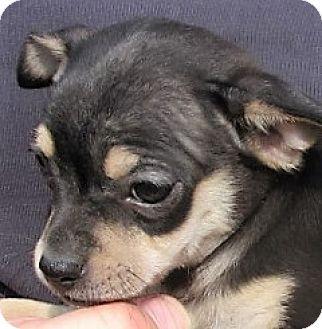 Germantown, MD - Chihuahua/Miniature Pinscher Mix. Meet Fern, a puppy for adoption. http://www.adoptapet.com/pet/16990693-germantown-maryland-chihuahua-mix