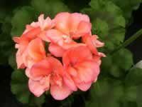 An 'Orange Appeal' Geranium in bloom