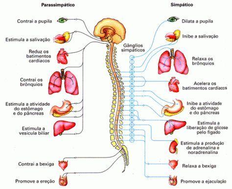 sistema nervoso periférico 500x408 Sistema Nervoso   Central Autonomo Periferico Humano Imagens