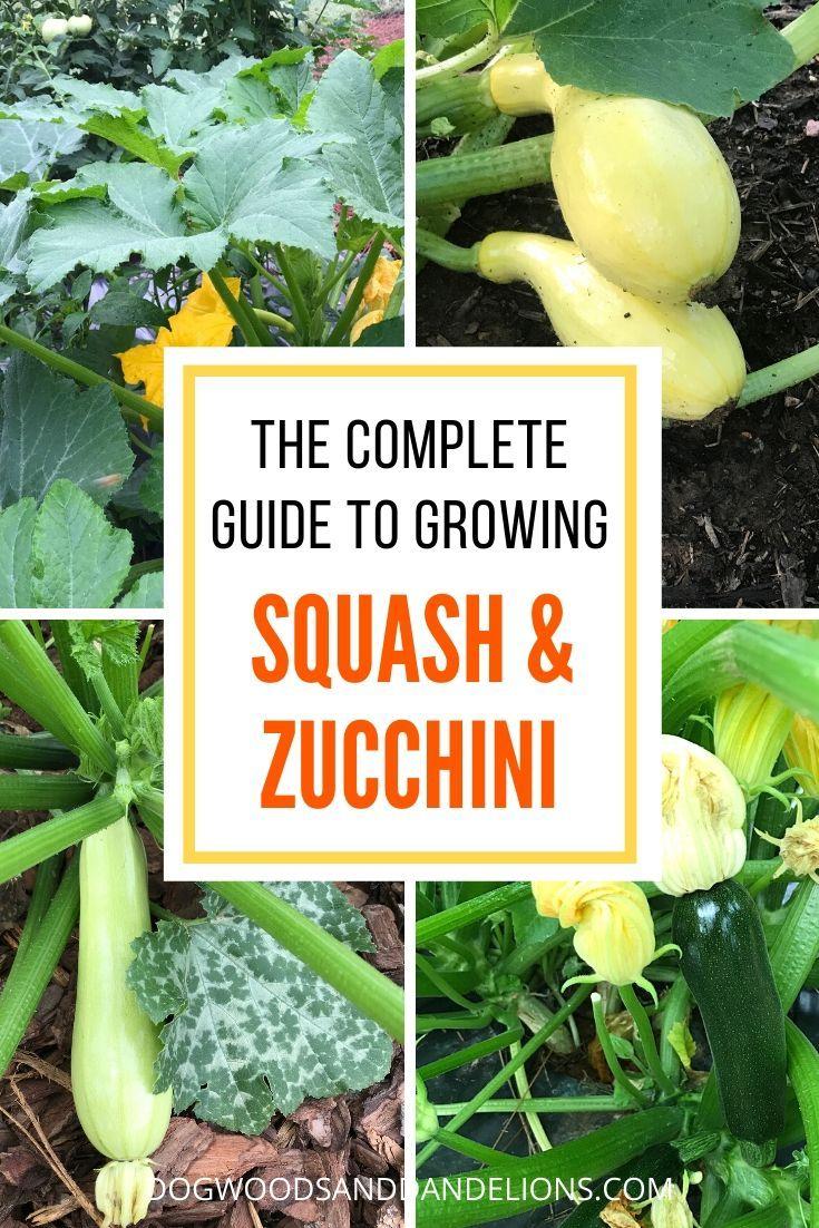 How To Grow Summer Squash Zucchini Easy Vegetables To Grow Growing Squash Vegetable Garden Design Backyard garden how to zucchini