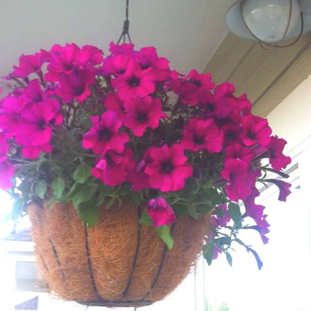My hanging coconut planter with petunias supertunias gardening pinterest porches - Growing petunias pots balconies porches ...
