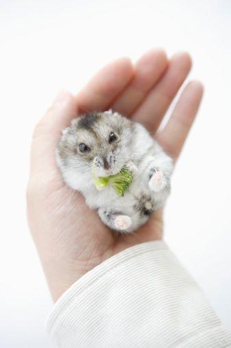 Man Holding Hamster Eating Vegetable Stock Photo 74449963
