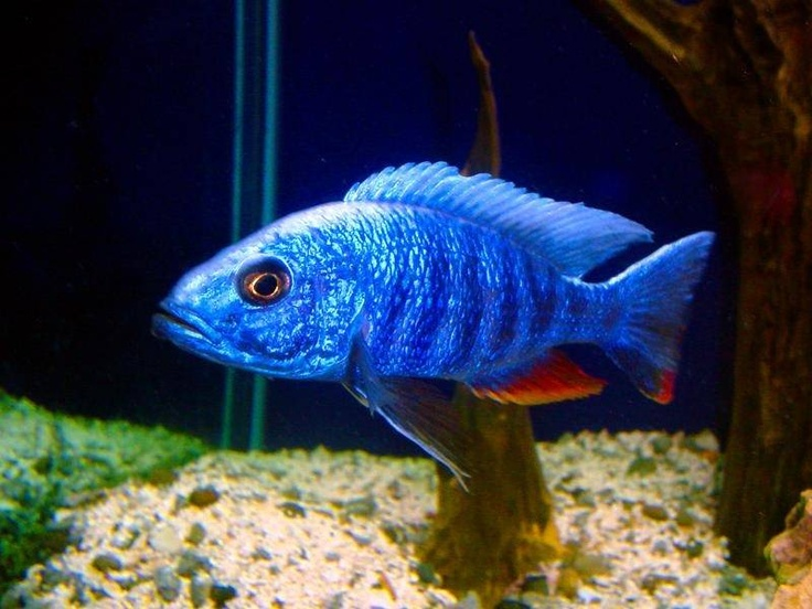 17 best images about fish that i have on pinterest for Blue freshwater fish
