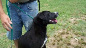 Caroline is an adoptable Labrador Retriever Dog in Vancouver, BC. Beautiful Caroline is approx. 2 years of age, and is a lab mix female. Our rescue partners report that she is fun, funny, and she love...