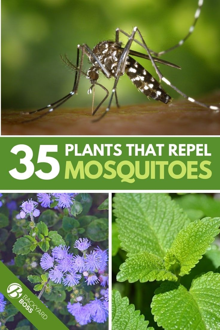 A List Of 35 Plants That Actually Repel Mosquitoes With Images