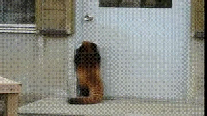 Red Panda trying to open a door #aww #cute #cutecats #dinkydogs #animalsofpinterest #cuddle #fluffy #animals #pets #bestfriend #boopthesnoot