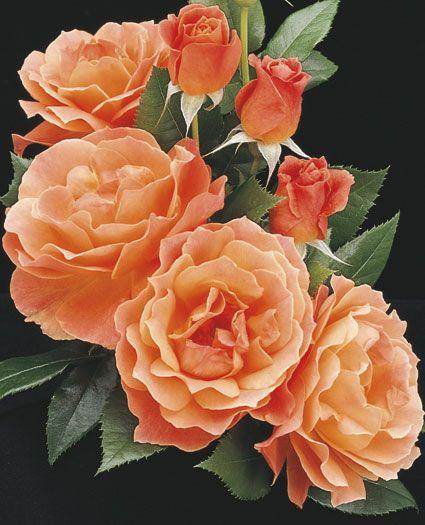 Livin' Easy Floribunda Shrub Rose from Weeks Roses: Apricot orange blend. fruity fragrance. 3-4' tall. henryFields.com
