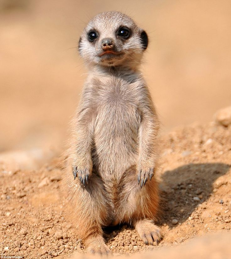 Meerkats, widely adored for their quirky standing stance, live in African deserts in Botswana, Namibia and South Africa - you can see themfrom when they are only two weeks old, the age their mothers generally let them out of their burrow